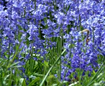 bluebells planted during autumn